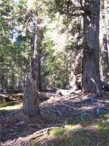 Old Growth, picture by G. King