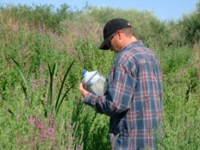 Releasing Galuracella pusilla along the Yakima River, to control Purple loosestrife, picture by Alex Williams