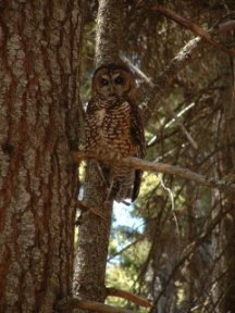 Spotted Owl , picture by M. Nuetzmann